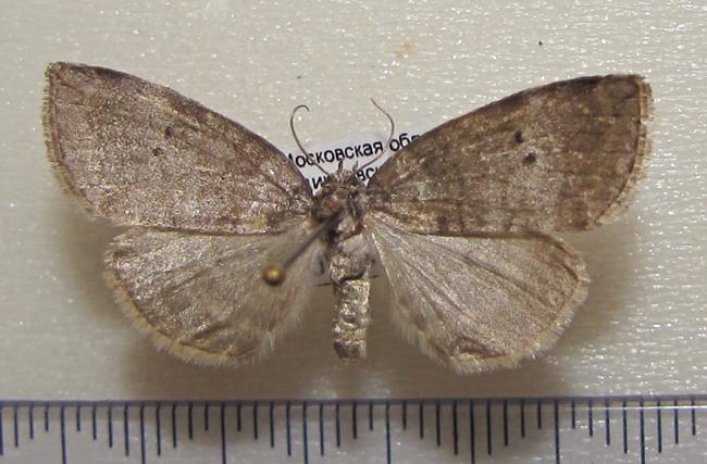 картинка: Ochropacha_duplaris_Linnaeus_1761.JPG