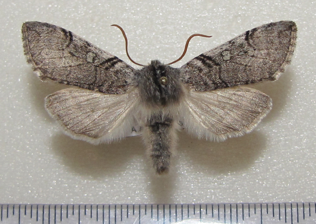 картинка: Achlya_flavicornis_Linnaeus_1758.JPG