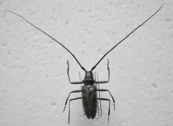 картинка: 3__Monochamus_sutor_Linnaeus_1758_male.jpg
