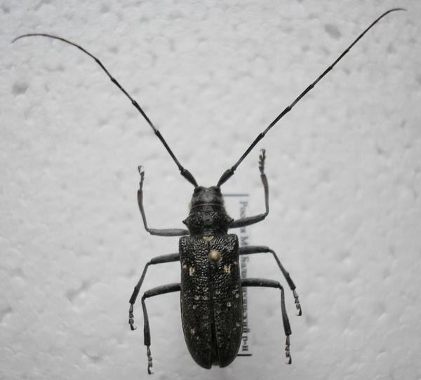 картинка: 4__Monochamus_sutor_Linnaeus_1758_female.jpg