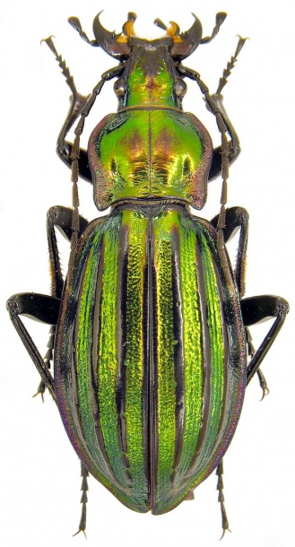 Attached ImageCarabus__Chrysocarabus__solieri_ssp._liguranus__Breuning__1933._33mm.jpg