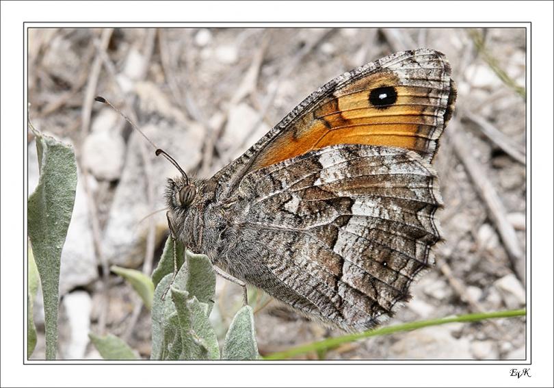 картинка: Hipparchia_pellucida_volgensis.jpg