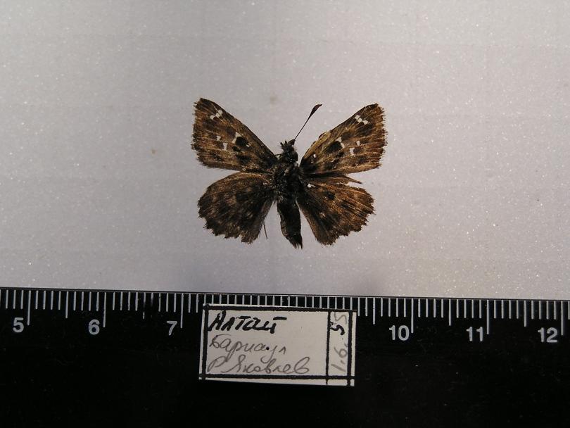 картинка: C_alceae1.JPG