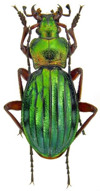 Attached ImageCarabus__Chrysocarabus__auronitens_ssp._auronitens_Fabricius__1792._24mm.jpg