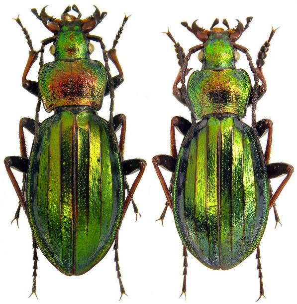 Attached ImageCarabus__Chrysocarabus__auronitens_ssp._farinesi_Dejean__1826._f.bouisseti_Barthe__1936.23_mm.jpg