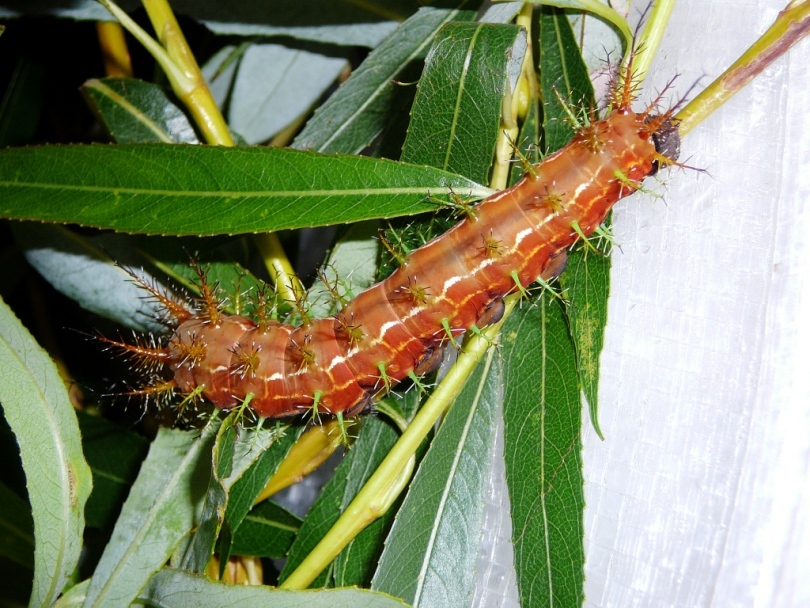 картинка: Dirphia_tarquinia_final_instar_larva2low.jpg