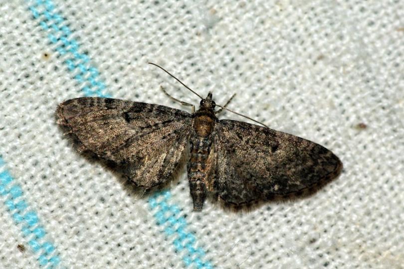 картинка: Eupithecia_sp.__6_16_2009__Kh.JPG