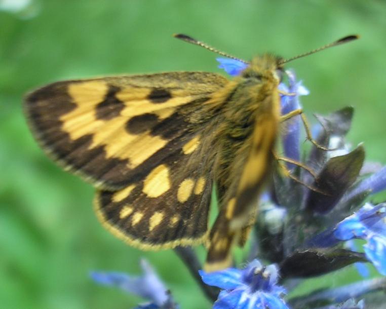 картинка: Hesperiidae.jpg