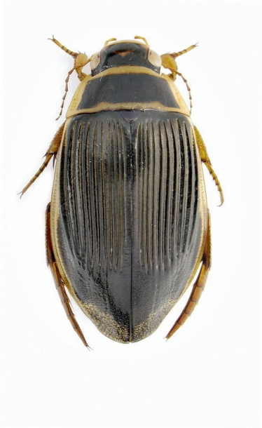 картинка: Dytiscus_marginalis_Linnaeus__1758.jpg