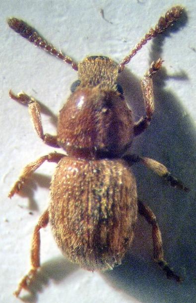 картинка: Anthribidae.jpg