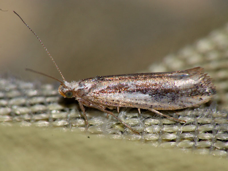 картинка: ypsolopha_parenthesella.jpg