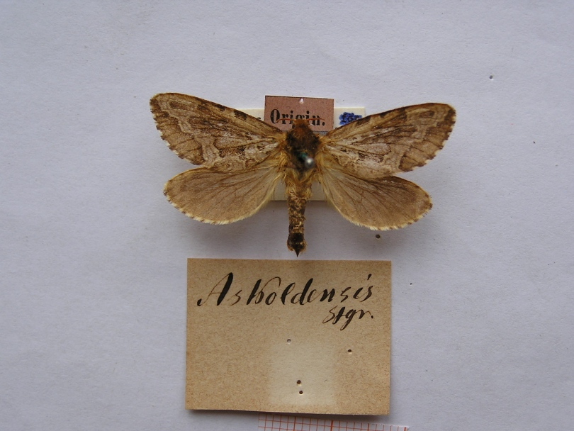 картинка: Hepialus_askoldensis.JPG
