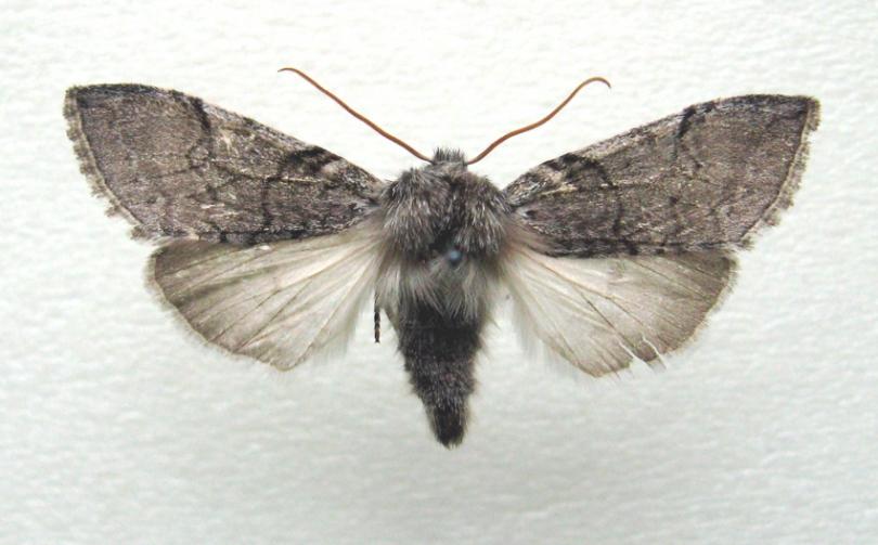 картинка: Achlya_flavicornis_sikhotensis.jpg