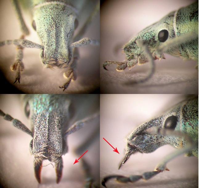 curculionidae_chlorophanus_casus_teratos.jpg - кликните, чтобы открыть увеличенную картинку