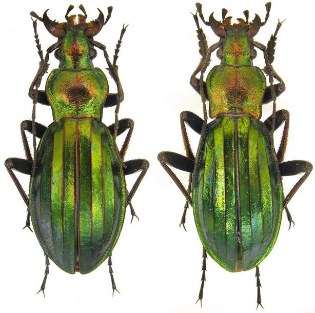 Attached ImageCarabus__Chrysocarabus__auronitens_ssp._farinesi_Dejean__1826.31mm..jpg