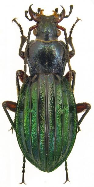 Attached ImageCarabus__Chrysocarabus__auronitens_costellatus_Gehin__1882_f._subfestivus_Oberthur__1884.26mm.jpg