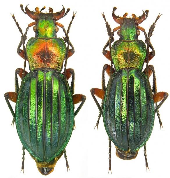 Attached ImageCarabus__Chrysocarabus__auronitens_costellatus_Gehin__1882.26mm.jpg