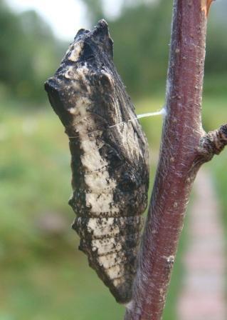 какого цвета сироп мангустина для похудения