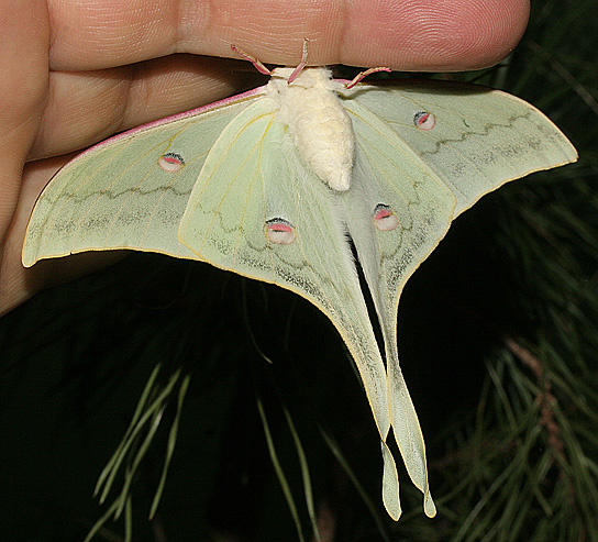 картинка: Actias_chrisbrechlini_2007__Brechlin._New_sp._Male._Guangxi__Yunnan__China.W.WEB.jpg
