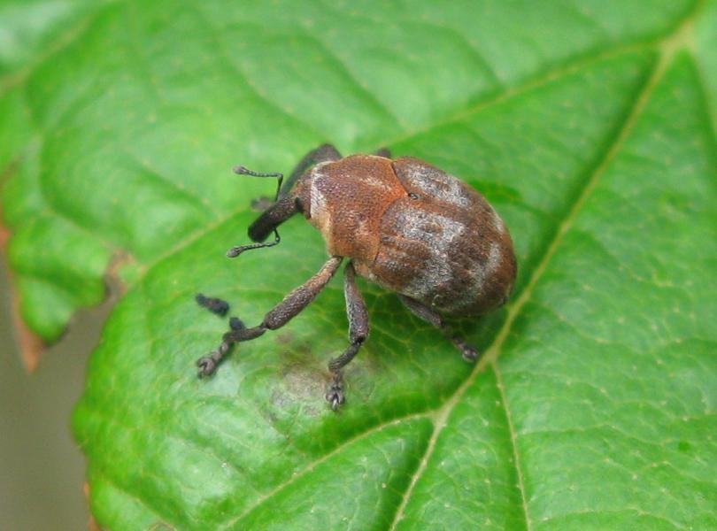 Sternuchopsis_nigrofasciatus.jpg - кликните, чтобы открыть увеличенную картинку