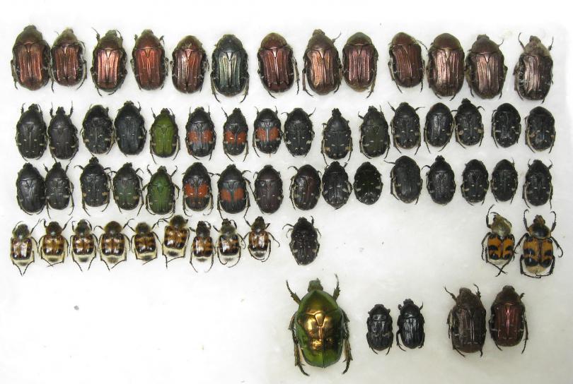 cetoniinae.jpg - кликните, чтобы открыть увеличенную картинку