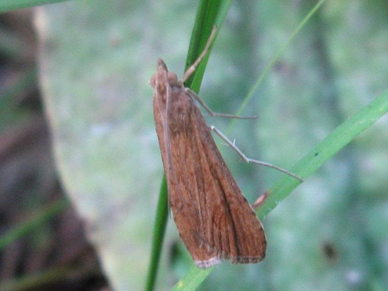 картинка: Nomophila_noctuella_5_____.jpg