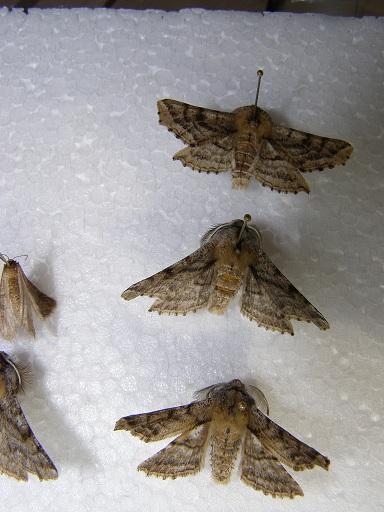 картинка: A.flabellaria.JPG