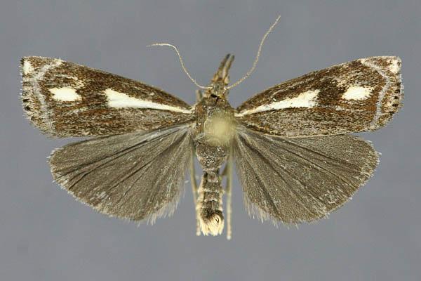 картинка: heringuellus01.jpg