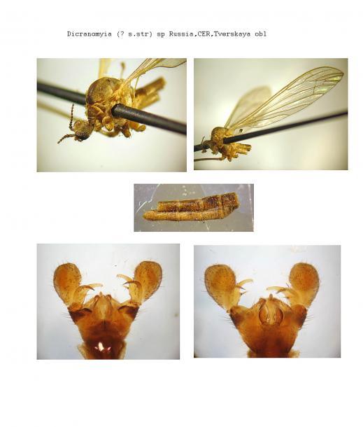 Dicranomyia_hyalinata.jpg - кликните, чтобы открыть увеличенную картинку