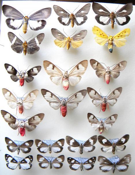 01_Aganainae_Arctiidae.JPG - кликните, чтобы открыть увеличенную картинку