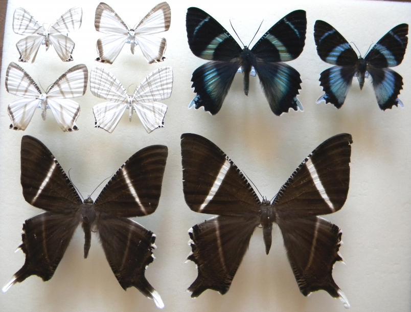 04_Uraniidae.JPG - кликните, чтобы открыть увеличенную картинку