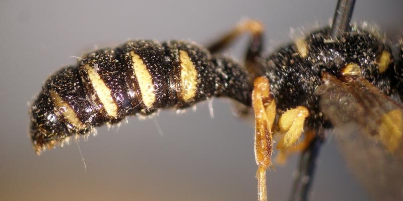 Рисунок осы или пчелы