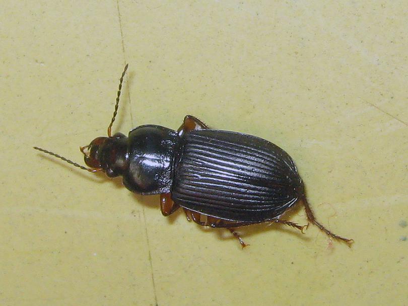Черные жуки в квартире фото