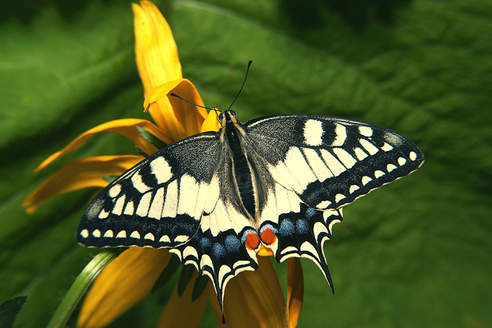 картинка: Papilio_machaon_2011.jpg