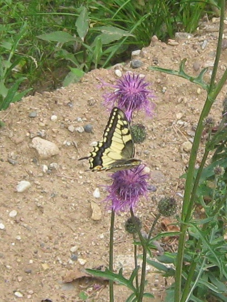 картинка: P_machaon_valday_23072011_1.jpg