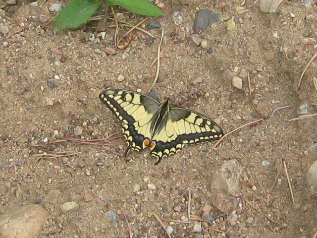 картинка: P_machaon_valday_23072011_3.jpg
