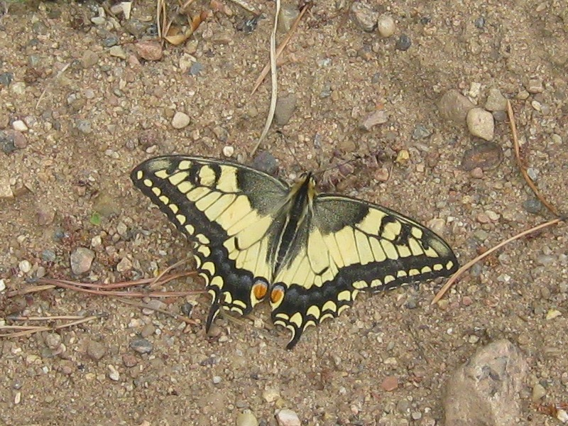 картинка: P_machaon_valday_23072011_4.jpg