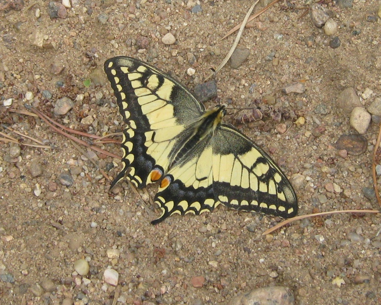 картинка: P_machaon_valday_23072011_5.jpg