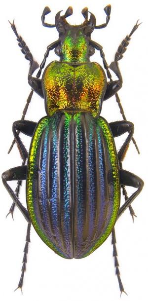 Attached ImageCarabus__Chrysocarabus__lineatus_salmantinus_Bolivar__1922.24_mm.jpg