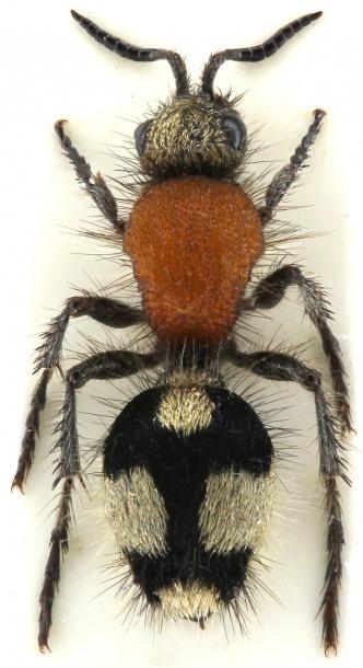 картинка: mutilidae_dasylabris_maura_sungora.jpg
