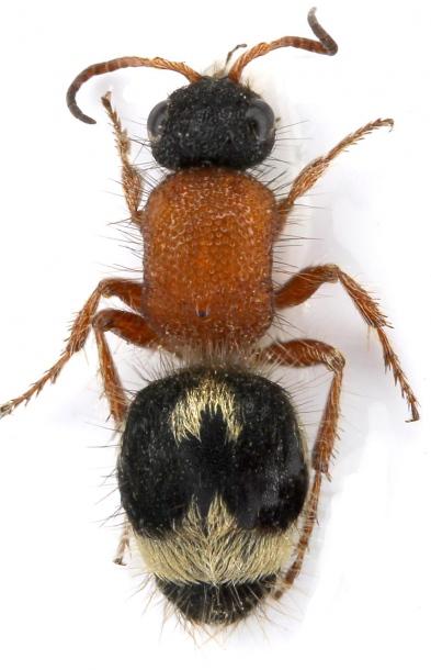 картинка: mutilidae_physetopoda_asiatica.jpg