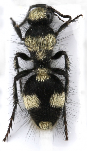 картинка: mutilidae_dasylabris_mongolica.jpg