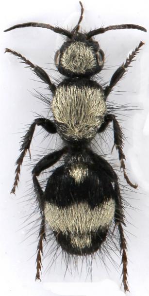 картинка: mutilidae_dasylabris_miranda.jpg