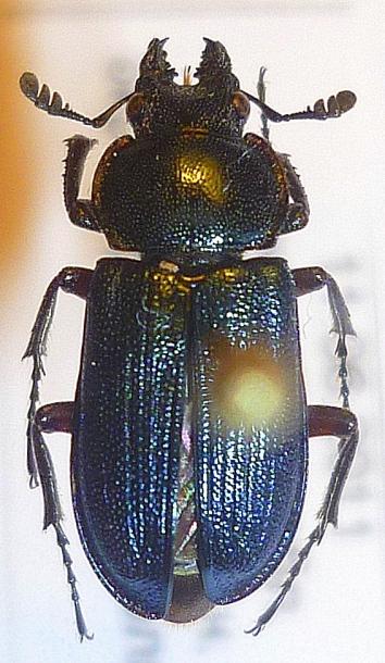 картинка: Platycerus_caraboides_male.JPG