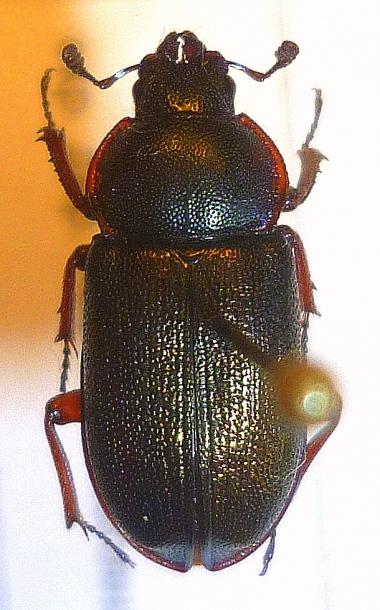 картинка: Platycerus_caraboides_female.JPG