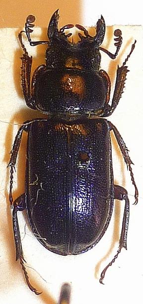 картинка: Platycerus_caucasicus_male.JPG