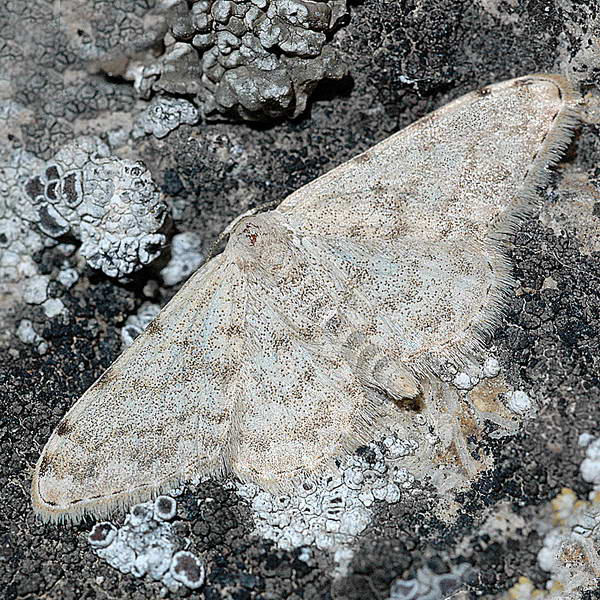 картинка: Glossotrophia_sacraria_1799_____________.jpg