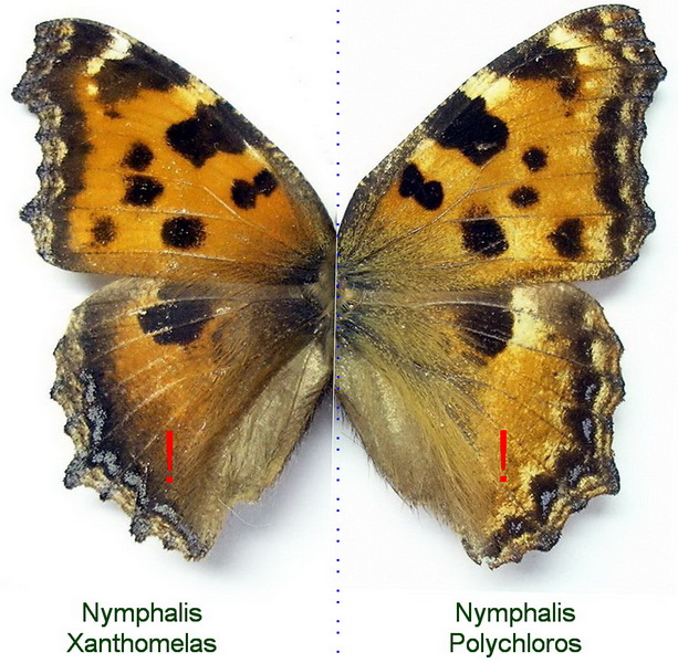 картинка: xanthomelas_vs_polychloros.JPG
