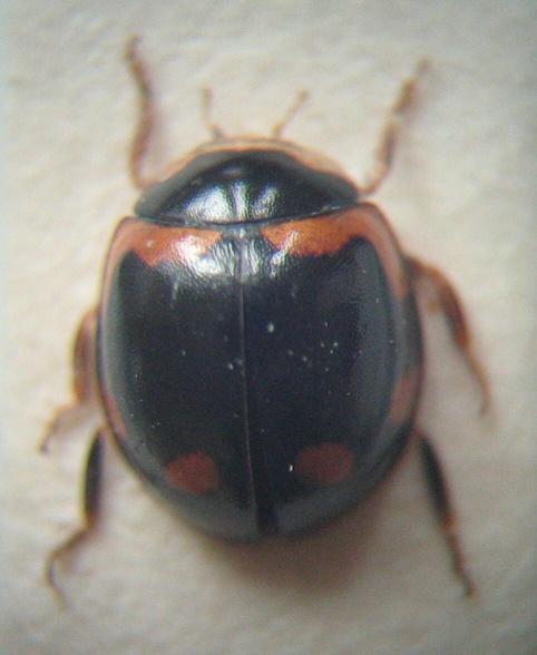 картинка: 1___Coccinelidae___dorsal.jpg