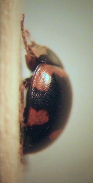 картинка: 3___Coccinelidae___lateral.jpg